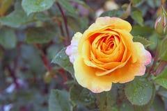 Róża Po deszczów Obrazy Stock