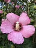 Róża Sharon kwiat w deszczu Obrazy Royalty Free