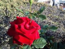 Róża w wiosce Fotografia Stock