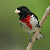 Róży Grosbeak Fotografia Royalty Free