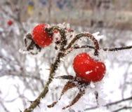 Róży owoc Obraz Stock