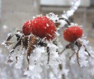 Róży owoc Zdjęcia Stock