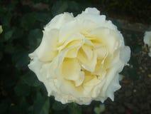 Róży Rosaceae Fotografia Stock