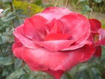 Róży Rosaceae Obrazy Stock