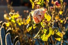 Róża Z mrozem zdjęcie stock