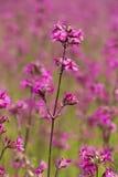 Śródpolna czerwona kwiat firletka Obrazy Royalty Free