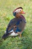 śródpolna kaczki mandarynka Obrazy Royalty Free