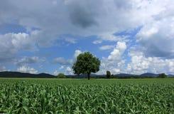 Śródpolna kukurudza Zdjęcie Royalty Free
