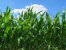 śródpolna kukurydza Zdjęcia Royalty Free
