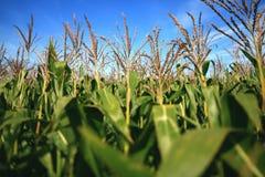 śródpolna kukurydza Obrazy Royalty Free
