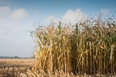 śródpolna kukurydza Obraz Royalty Free