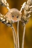 Śródpolna mysz Zdjęcia Stock