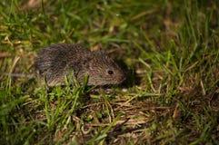 Śródpolna mysz Obraz Royalty Free