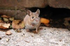 Śródpolna mysz Zdjęcie Royalty Free