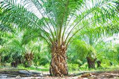 śródpolna palma Obrazy Stock