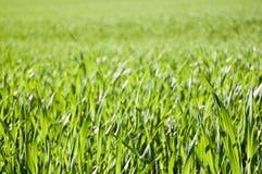 śródpolna trawa Zdjęcie Stock