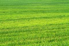 śródpolna trawy zieleni banatka Obraz Stock