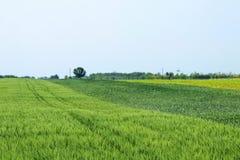 śródpolna zieleni krajobrazu banatka zielone pola pszenicy Obrazy Stock