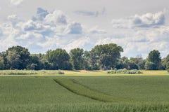 śródpolna zieleni krajobrazu banatka zielone pola pszenicy Zdjęcia Royalty Free