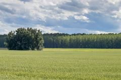 śródpolna zieleni krajobrazu banatka zielone pola pszenicy Zdjęcie Stock