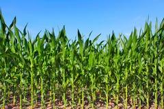śródpolna zielona kukurydza Fotografia Royalty Free