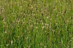 śródpolnej trawy wysoki lato Obrazy Royalty Free