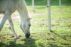 śródpolni konie Zdjęcie Royalty Free