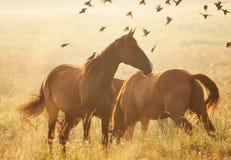 śródpolni konie Fotografia Royalty Free
