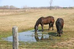śródpolni konie dwa Fotografia Stock
