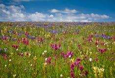 śródpolni kwiaty Zdjęcie Stock