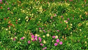 śródpolni kwiaty Fotografia Royalty Free