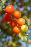 śródpolni pomidory Zdjęcie Stock