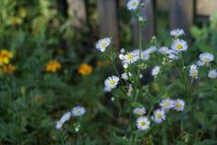 Śródpolni stokrotki lata kwiaty Fotografia Royalty Free
