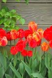 śródpolni tulipany Zdjęcia Royalty Free