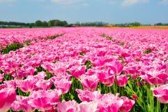 śródpolni tulipany Fotografia Stock