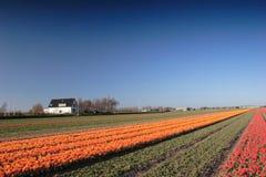 śródpolni tulipany Obraz Stock