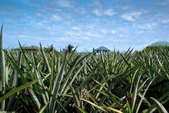 śródpolny ananas zdjęcie stock