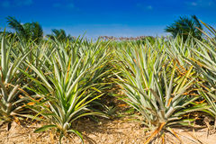 śródpolny ananas zdjęcie royalty free