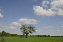śródpolny drzewo Obraz Stock
