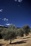 śródpolny drzewo oliwne Zdjęcie Stock