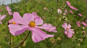śródpolny kwiat Obrazy Royalty Free