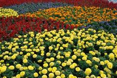 śródpolny kwiat zdjęcia stock