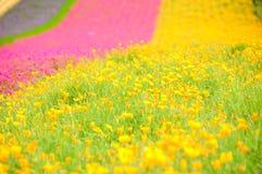 śródpolny kwiat Zdjęcie Royalty Free