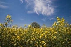 śródpolny kwiat Zdjęcia Royalty Free