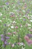 śródpolny kwiat Fotografia Stock