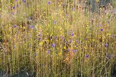 Śródpolny kwiat w phataem park narodowy Zdjęcie Royalty Free