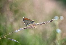 Śródpolny motyl Obrazy Stock