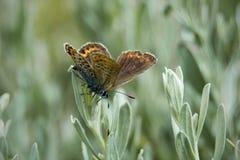 Śródpolny motyl siedzi na ostrzu trawa Obrazy Royalty Free