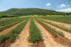 śródpolny pomidor obraz stock