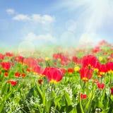 śródpolny tulipan Fotografia Stock